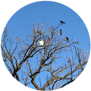 Three crows and a Cooper's Hawk sitting in tree