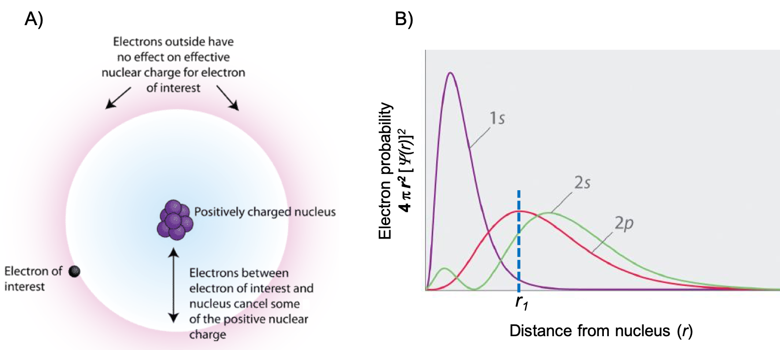 """This figure has two parts: the left part is labeled """"A"""" and the right part is labeled """"B"""". For part A, there is a representation of an atom. There is a blob of purple spheres in the center that is labeled """"positively charged nucleus"""". This is surrounded by a blue cloud. On the outside of the blue cloud is a red cloud. At the interface of the blue and red clouds is an electron labeled """"electron of interest"""". There is a double headed arrow in the blue cloud that points between the nucleus and the interface between the blue and red cloud that is labeled """"electrons between electron of interest and nucleus cancel some of the positive nuclear charge"""". There is an arrow pointing to the red cloud that states """"Electrons outside have no effect on effective nuclear charge for electron of interest. In part B, there is a plot of electron probability versus distance from the nucleus (r). Electron probability is defined as 4 multiplied by pi multiplied by the radius squared multiplied by the wave function as a function of r squared. There are 3 curves plotted. A purple curve has one tall peak and is labeled """"1 s"""". A green trace has a small peak at about the same x value as the purple peak, but much smaller. Then it has a taller peak at a larger x value. Between the two peaks, the intensity dips back to zero. This curve is labeled """"2 s"""". The third trace is red and has a single peak at an x distance between the peak for the purple graph and the taller peak for the green graph. This trace is labeled """"2 p"""". A dotted line is drawn upward from x equals r subscript 1 on the x axis to the peak of the red curve."""