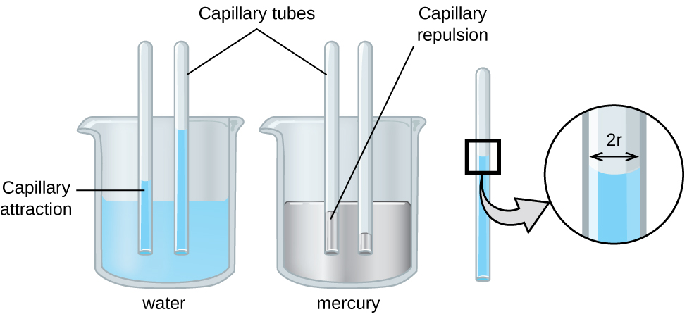 """An image of two beakers and a tube is shown. The first beaker, drawn on the left and labeled """"Water,"""" is drawn half-full of a blue liquid. Two tubes are placed vertically in the beaker and inserted into the liquid. The liquid is shown higher in the tubes than in the beaker and is labeled """"Capillary attraction."""" The second beaker, drawn in the middle and labeled """"Mercury,"""" is drawn half-full of a gray liquid. Two tubes are placed vertically in the beaker and inserted into the liquid. The liquid is shown lower in the tubes than in the beaker and is labeled """"Capillary repulsion."""" Lines point to the vertical tubes and label them """"Capillary tubes."""" A separate drawing of one of the vertical tubes from the first beaker is shown on the right. A right-facing arrow leads from the liquid in the tube to a square call-out box that shows a close-up view of the liquid's surface. The distance across the tube is labeled """"2 r"""" in this image."""