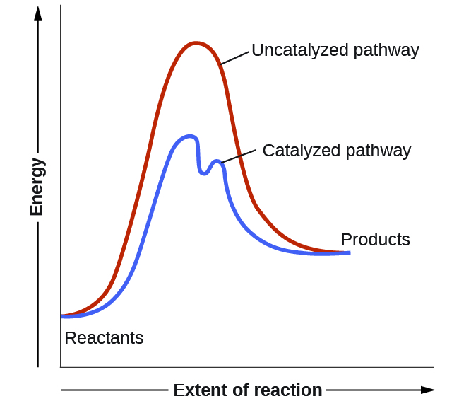 """A graph is shown with the label, """"Extent of reaction,"""" appearing in a right pointing arrow below the x-axis and the label, """"Energy,"""" in an upward pointing arrow just left of the y-axis. Approximately one-fifth of the way up the y-axis, a very short, somewhat flattened portion of both a red and a blue curve are shown. This region is labeled """"Reactants."""" A red concave down curve extends upward to reach a maximum near the height of the y-axis. This curve is labeled, """"Uncatalyzed pathway."""" From the peak, the curve continues downward to a second horizontally flattened region at a height of about one-third the height of the y-axis. This flattened region is labeled, """"Products."""" A second curve is drawn in blue with the same flattened regions at the start and end of the curve. The height of this curve is about two-thirds the height of the first curve and just right of its maximum, the curve dips low, then rises back and continues a downward trend at a lower height, but similar to that of the red curve. This blue curve is labeled, """"Catalyzed pathway."""""""