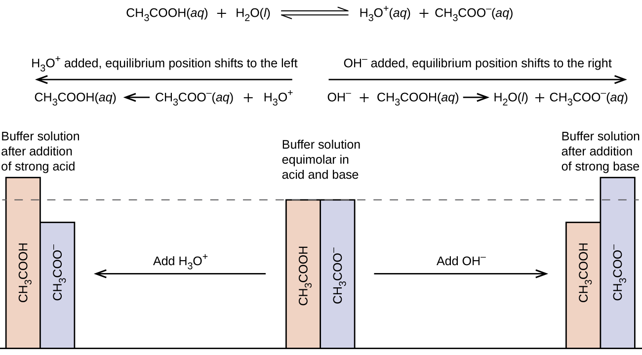 """This figure begins with a chemical reaction at the top: C H subscript 3 C O O H ( a q ) plus H subscript 2 O ( l ) equilibrium arrow H subscript 3 O superscript positive sign ( a q ) plus C H subscript 3 C O O superscript negative sign ( a q ). Below this equation are two arrows: one pointing left and other pointing right. The arrow pointing left has this phrase written above it, """"H subscript 3 O superscript positive sign added, equilibrium position shifts to the left."""" Below the arrow is the reaction: C H subscript 3 C O O H ( a q ) left-facing arrow C H subscript 3 C O O superscript negative sign ( a q ) plus H subscript 3 O superscript positive sign. The arrow pointing right has this phrase written above it, """"O H subscript negative sign added, equilibrium position shifts to the right."""" Below the arrow is the reaction: O H superscript negative sign plus C H subscript 3 C O O H ( a q ) right-facing arrow H subscript 2 O ( l ) plus C H subscript 3 C O O superscript negative sign ( a q ). Below all the text is a figure that resembles a bar graph. In the middle are two bars of equal height. One is labeled, """"C H subscript 3 C O O H,"""" and the other is labeled, """"C H subscript 3 C O O superscript negative sign."""" There is a dotted line at the same height of the bars which extends to the left and right. Above these two bars is the phrase, """"Buffer solution equimolar in acid and base."""" There is an arrow pointing to the right which is labeled, """"Add O H superscript negative sign."""" The arrow points to two bars again, but this time the C H subscript 3 C O O H bar is shorter than that C H subscript 3 C O O superscript negative sign bar. Above these two bars is the phrase, """"Buffer solution after addition of strong base."""" From the middle bars again, there is an arrow that points left. The arrow is labeled, """"Add H subscript 3 O superscript positive sign."""" This arrow points to two bars again, but this time the C H subscript 3 C O O H bar is taller than the C H subscript 3 C O O supers"""