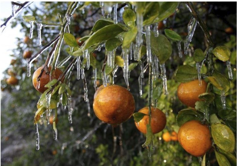 The image shows icicles on fruit trees, specifically on oranges.