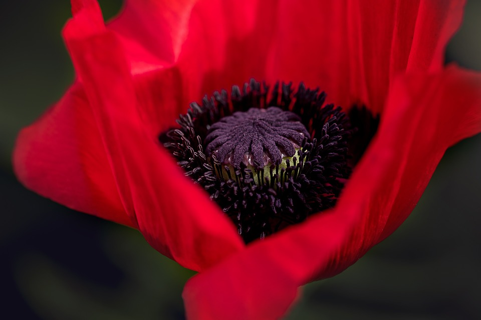 This is a photo of a red poppy flower.