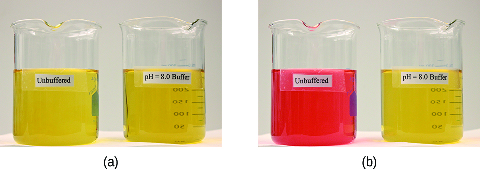 """Two images are shown. Image a on the left shows two beakers that each contain yellow solutions. The beaker on the left is labeled """"Unbuffered"""" and the beaker on the right is labeled """"p H equals 8.0 buffer."""" Image b similarly shows 2 beakers. The beaker on the left contains a bright orange solution and is labeled """"Unbuffered."""" The beaker on the right is labeled """"p H equals 8.0 buffer."""""""