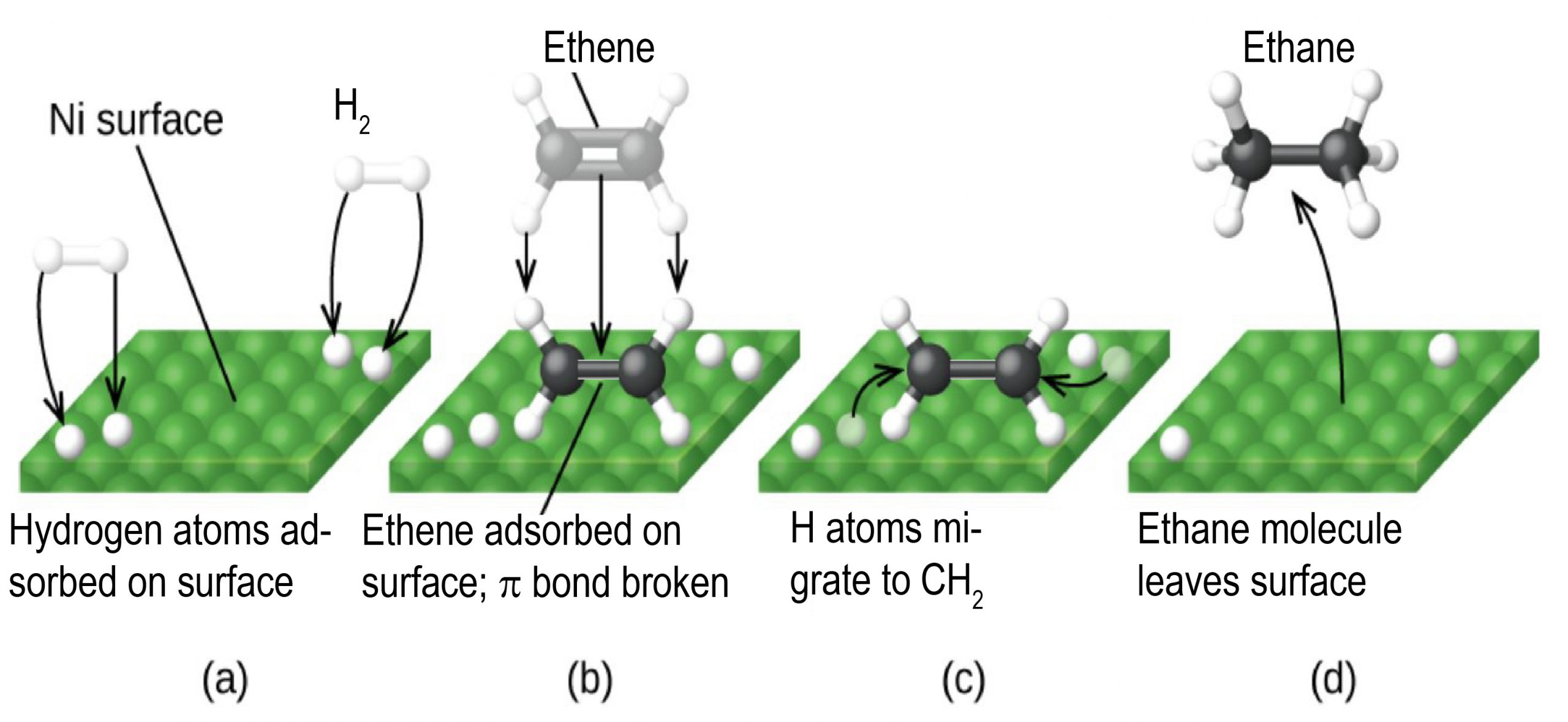 """In this figure, four diagrams labeled a through d are shown. In each, a square array of green spheres forming a nickel surface is shown in perspective to provide a three-dimensional appearance. In a, the label """"N i surface"""" is placed above with a line segment extending to the green spheres. At the lower left and upper right, pairs of white spheres bonded tougher together appear as well as white spheres on the green surface. Black arrows are drawn from each of the white spheres above the surface to the white sphere on the green surface. In b, the white spheres are still present on the green surface. Above the surface is a grayed-out structure labeled ethene with two C atoms and four H atoms. The label """"Ethene"""" at the top of the diagram is connected to the greyed out structure with a line segment. Arrows indicating motion point down from this structure to a an ethene molecule with two central black spheres with a single bond indicated by a horizontal black rod between them. Above and below to the left and right, a total of four white spheres are connected to the black spheres with white rods. A line segment extends from this structure to the label, """"Ethene adsorbed on surface; pi bond broken."""" In c, the diagram is very similar to b except that the greyed out structure and labels are gone and one of the white spheres near the black and white structure in each pair on the green surface is greyed out. Arrows point from each greyed-out white sphere to each of the two black spheres. There is a label below that says, """"H atoms migrate to C H 2"""". In d, only a single white sphere remains from each pair in the green surface. A curved arrow points from the middle of the green surface to a model above with two central black carbon-atom spheres with a single black rod indicating a single bond between them. Each of the black spheres has three small white spheres bonded as indicated by white rods between the black spheres and the small white spheres. The four bonds around each black"""