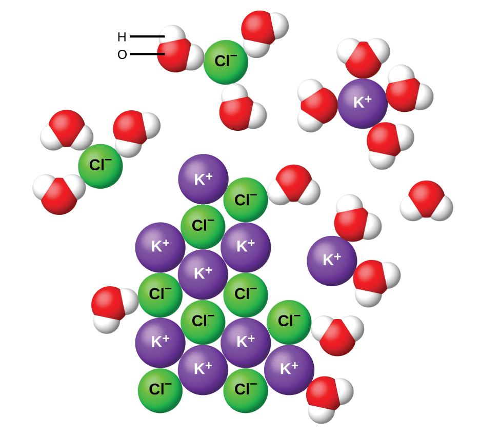 The diagram shows eight purple spheres labeled K superscript plus and eight green spheres labeled C l superscript minus mixed and touching near the center of the diagram. Outside of this cluster of spheres are seventeen clusters of three spheres, which include one red and two white spheres. A red sphere in one of these clusters is labeled O. A white sphere is labeled H. Two of the green C l superscript minus spheres are surrounded by three of the red and white clusters, with the red spheres closer to the green spheres than the white spheres. One of the K superscript plus purple spheres is surrounded by four of the red and white clusters. The white spheres of these clusters are closest to the purple spheres.
