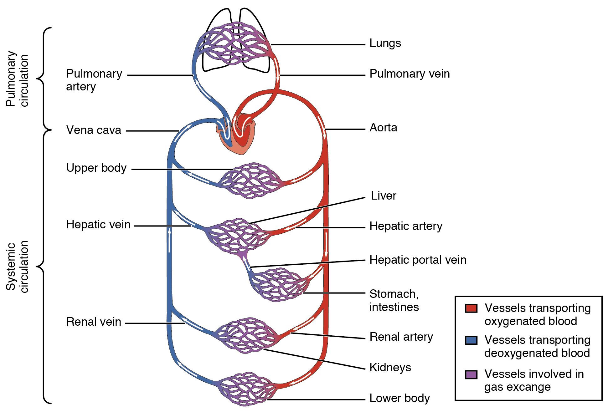 This diagram shows how oxygenated and deoxygenated blood flow through the major organs in the body.