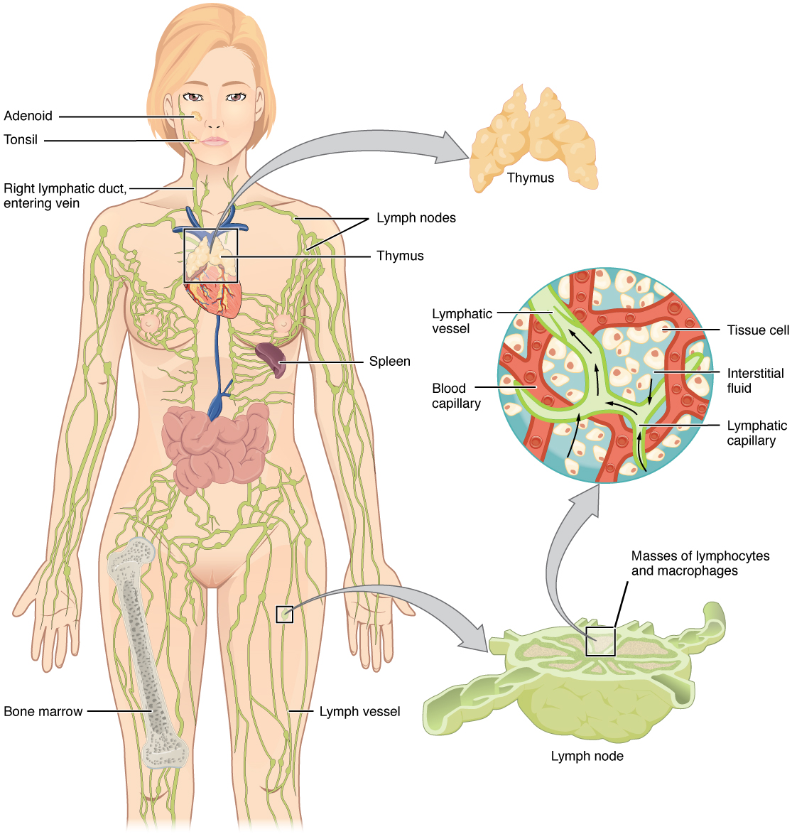 The left panel shows a female human body, and the entire lymphatic system is shown. The right panel shows magnified images of the thymus and the lymph node. All the major parts in the lymphatic system are labeled.