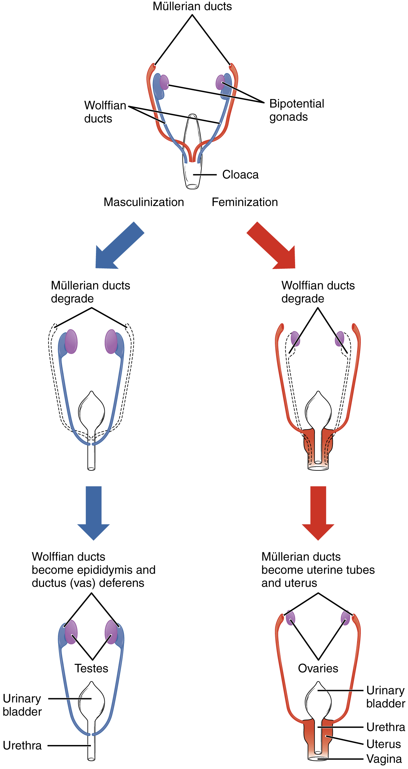 This flow chart shows how the sexual organs develop in embryos. The left side of the flow chart shows the development of male organs and the right side of the flow chart shows the development of female organs.