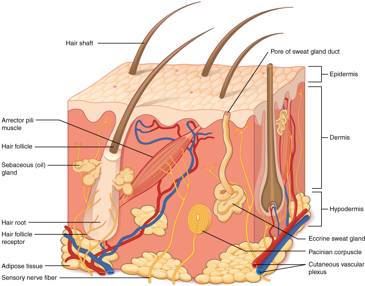This illustration shows a cross section of skin tissue. The outermost layer is called the epidermis, and occupies one fifth of the cross section. Several hairs are emerging from the surface. The epidermis dives around one of the hairs, forming a follicle. The middle layer is called the dermis, which occupies four fifths of the cross section. The dermis contains an erector pilli muscle connected to one of the follicles. The dermis also contains an eccrine sweat gland, composed of a bunch of tubules. One tubule travels up from the bunch, through the epidermis, opening onto the surface a pore. There are two string-like nerves travelling vertically through the dermis. The right nerve is attached to a Pacinian corpuscle, which is a yellow structure consisting of concentric ovals similar to an onion. The lowest level of the skin, the hypodermis, contains fatty tissue, arteries, and veins. Blood vessels travel from the hypodermis and connect to hair follicles and erector pilli muscle in the dermis.