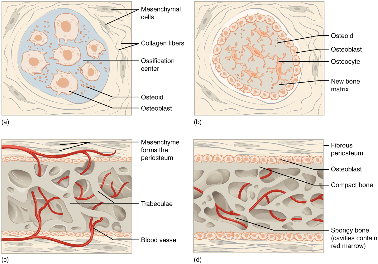 """Image A shows seven osteoblasts, cells with small, finger like projections. They are surrounded by granules of osteoid. Both the cells and the osteoid are contained within a blue, circular, ossification center that is surrounded by a """"socket"""" of dark, string-like collagen fibers and gray mesenchymal cells. The cells are generally amorphous, similar in appearance to an amoeba. In image B, the ossification center is no longer surrounded by a ring of osteoblasts. The osteoblasts have secreted bone into the ossification center, creating a new bone matrix. There are also five osteocytes embedded in the new bone matrix. The osteocytes are thin, oval-shaped cells with many fingerlike projections. Osteoid particles are still embedded in the bony matrix in image B. In image C, the ring of osteoblasts surrounding the ossification center has separated, forming an upper and lower layer of osteoblasts sandwiched between the two layers of mesenchyme cells. A label indicates that the mesenchyme cells and the surrounding collagen fibers form the periosteum. The osteoblasts secrete spongy bone into the space between the two osteoblast rows. Therefore, the accumulating spongy bone pushes the upper and lower rows of osteoblasts away from each other. In this image, most of the spongy bone has been secreted by the osteoblasts, as the trabeculae are visible. In addition, an artery has already broken through the periosteum and invaded the spongy bone. Image D looks similar to image C, except that the rows of osteoblasts are now secreting layers of compact bone between the spongy bone and the periosteum. The artery has now branched and spread throughout the spongy bone. A label indicates that the cavities between the trabeculae now contain red bone marrow."""