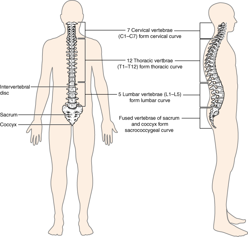 This image shows the structure of the vertebral column. The left panel shows the front view of the vertebral column and the right panel shows the side view of the vertebral column.