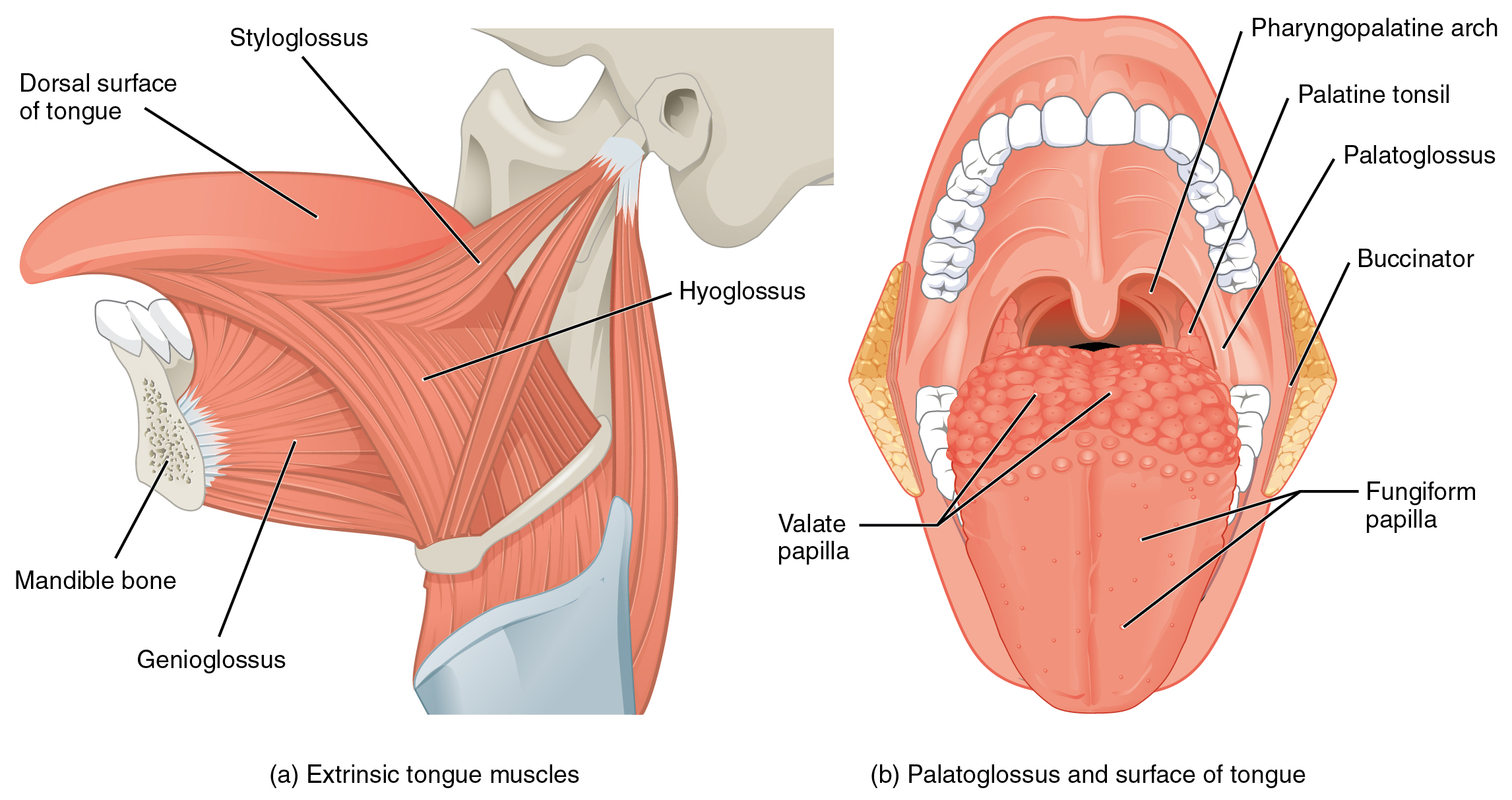 The image shows the extrinsic muscles of the tongue.