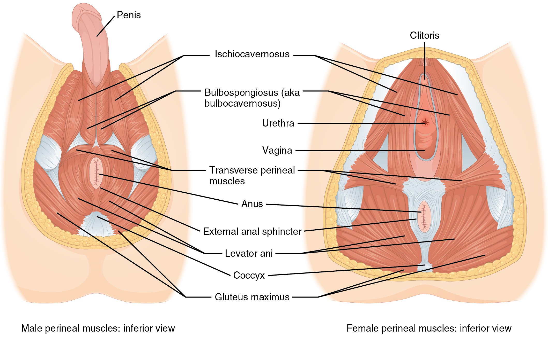 The left panel shows the muscles of the pelvic floor/perineum in the male, and the right panel shows the muscles of the pelvic floor/perineum in the female.