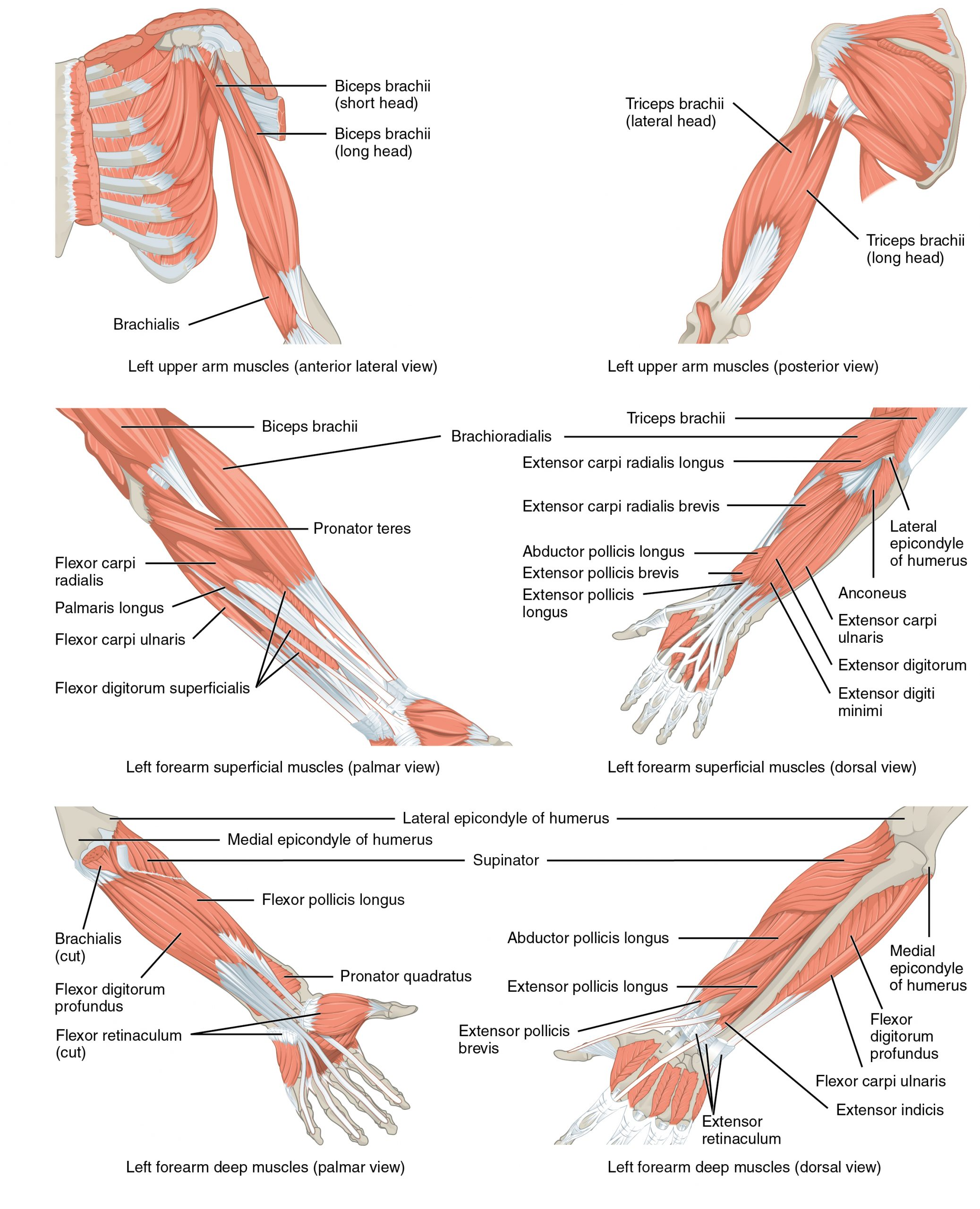 This multipart figure shows the different muscles that move the forearm. The major muscle groups are labeled.