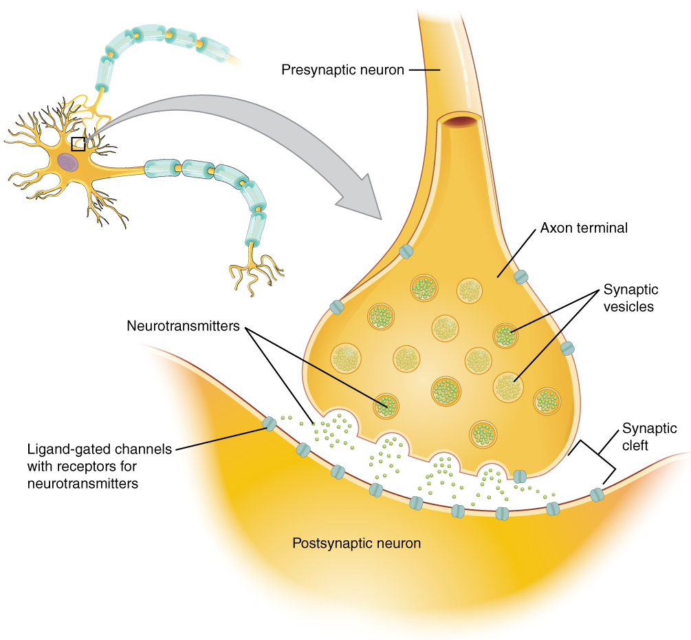 This diagram shows a postsynaptic neuron. An axon from a presynaptic neuron is synapsing with the dendrites on the post synaptic neuron. The axon of the presynaptic neuron branches into several club shaped axon terminals. A magnified view of one of the synapses reveals that the axon terminal does not contact the dendrite of the postsynaptic neuron. Instead, there is a small space between the two structures, called the synaptic cleft. The axon terminal of the presynaptic neuron contains several synaptic vesicles, each holding about a dozen neurotransmitter particles. The synaptic vesicles travel to the edge of the axon terminal and release their neurotransmitters into the synaptic clefts The neurotransmitters travel through the synaptic cleft and bind to carrier proteins on the postsynaptic neuron that contain receptors foe neurotransmitters.