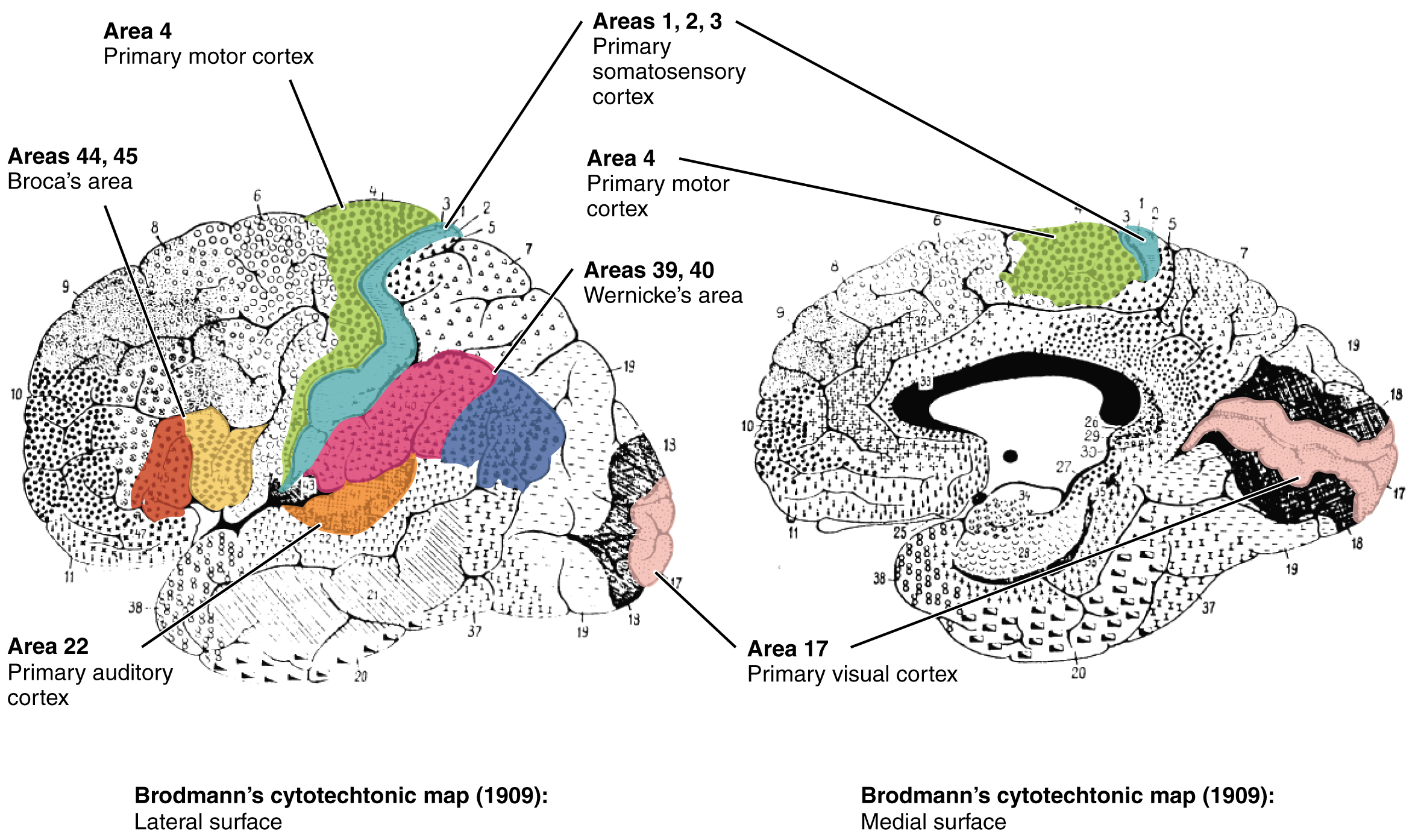 In this figure, the Brodmann areas, identifying the functional regions of the brain, are mapped. The left panel shows the lateral surface of the brain and the right panel shows the medial surface.