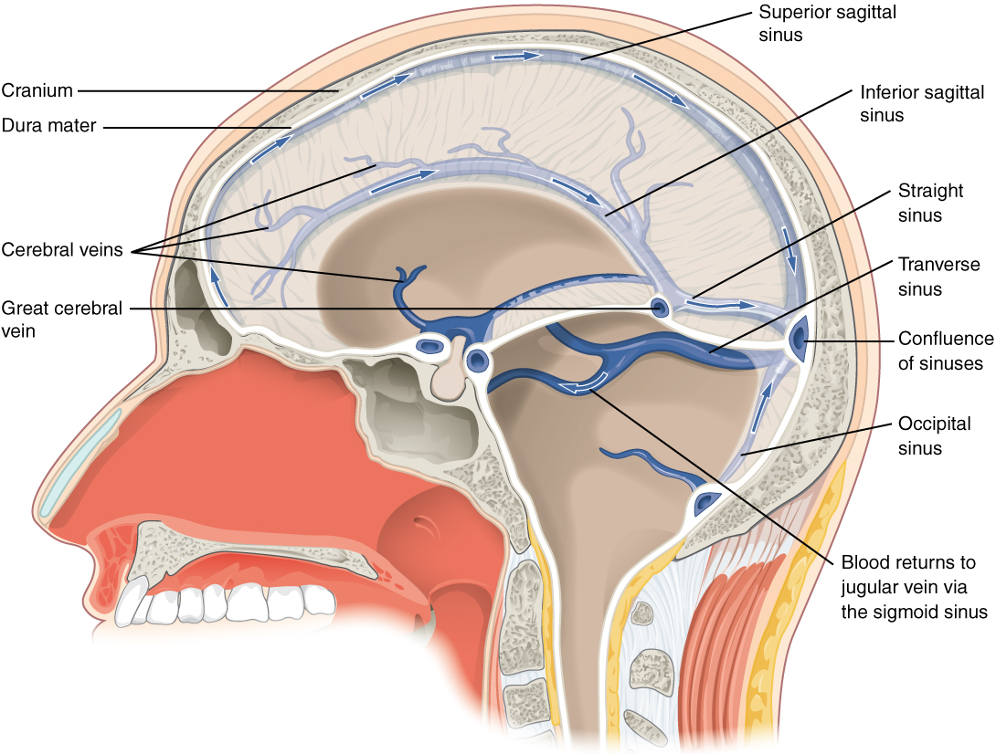 This diagram shows a lateral view of the brain and labels the location of the different sinuses.