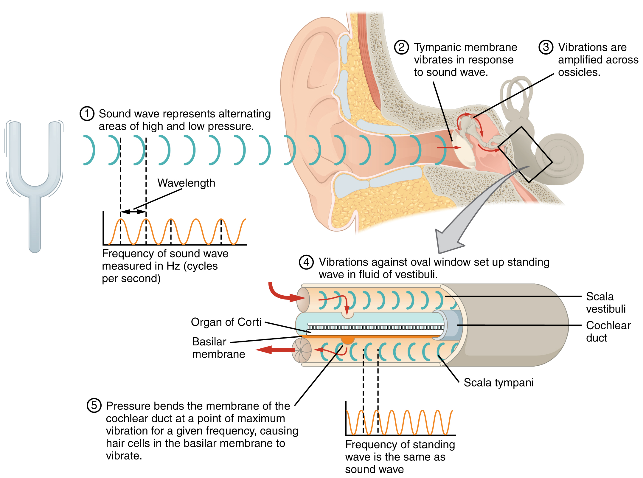 This diagram shows how sound waves travel through the ear, and each step details the process.