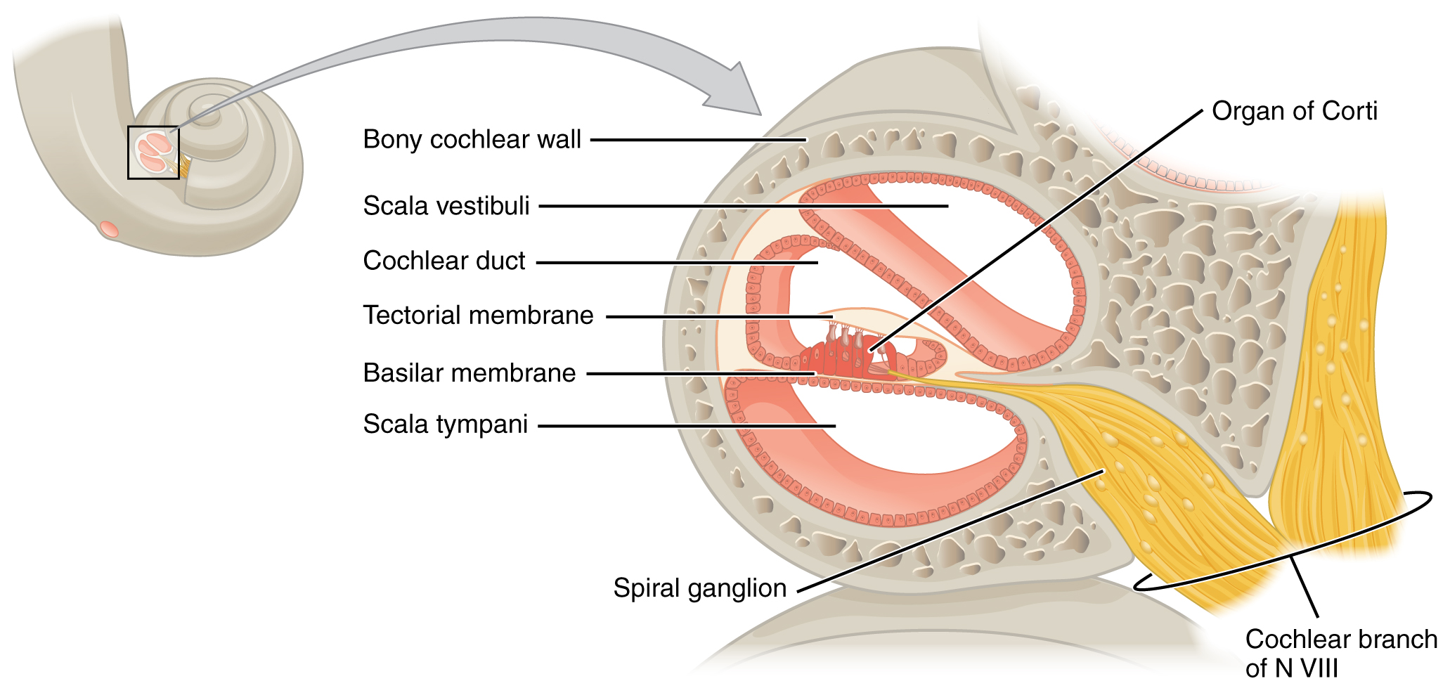 This diagram shows the structure of the cochlea in the inner ear.