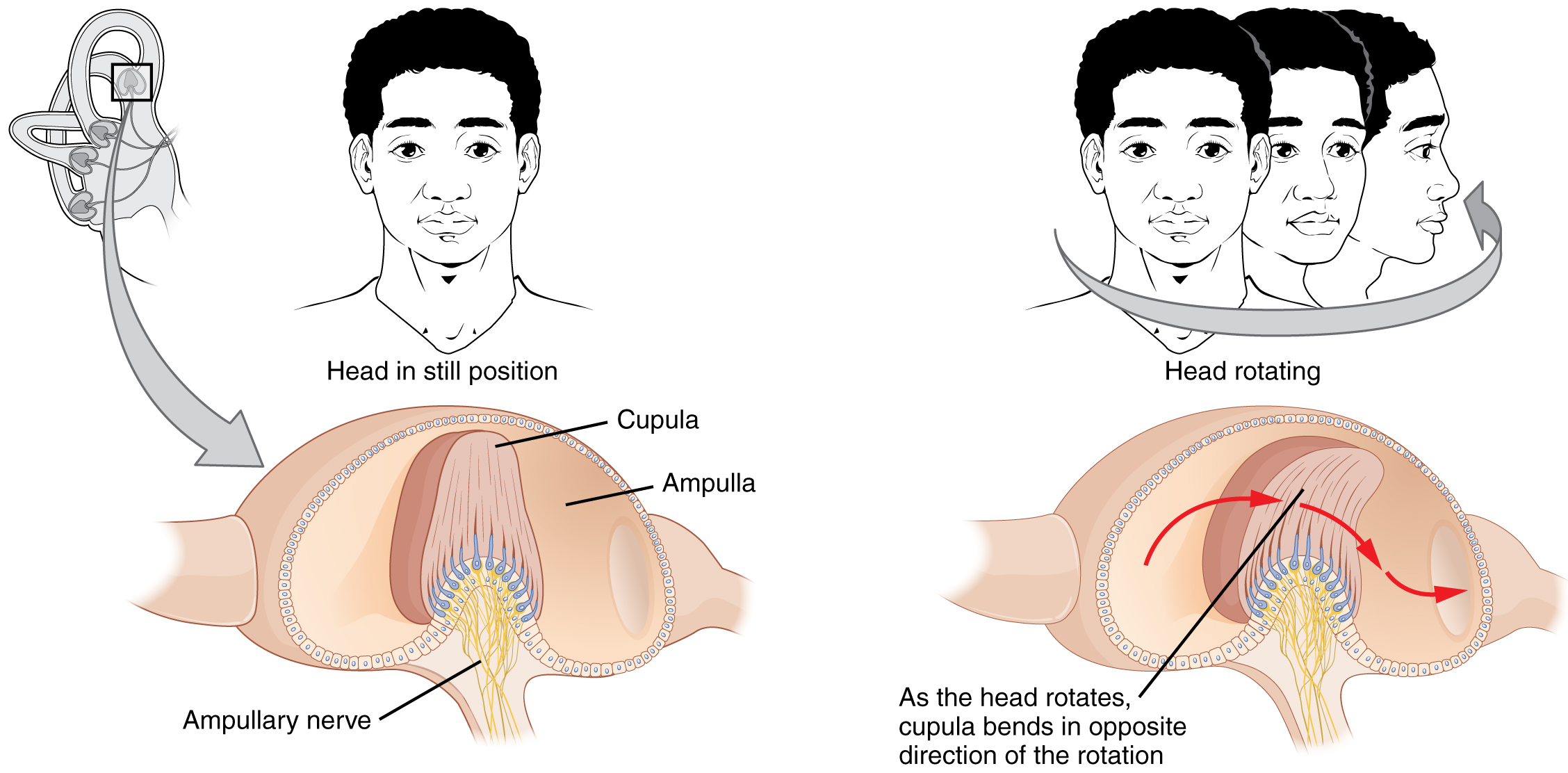 The left panel of this image shows a person's head in a still position. Underneath this, the ampullary nerve is shown. The right panel shows a person rotating his head, and the below that, the direction of movement of the cupula is shown.