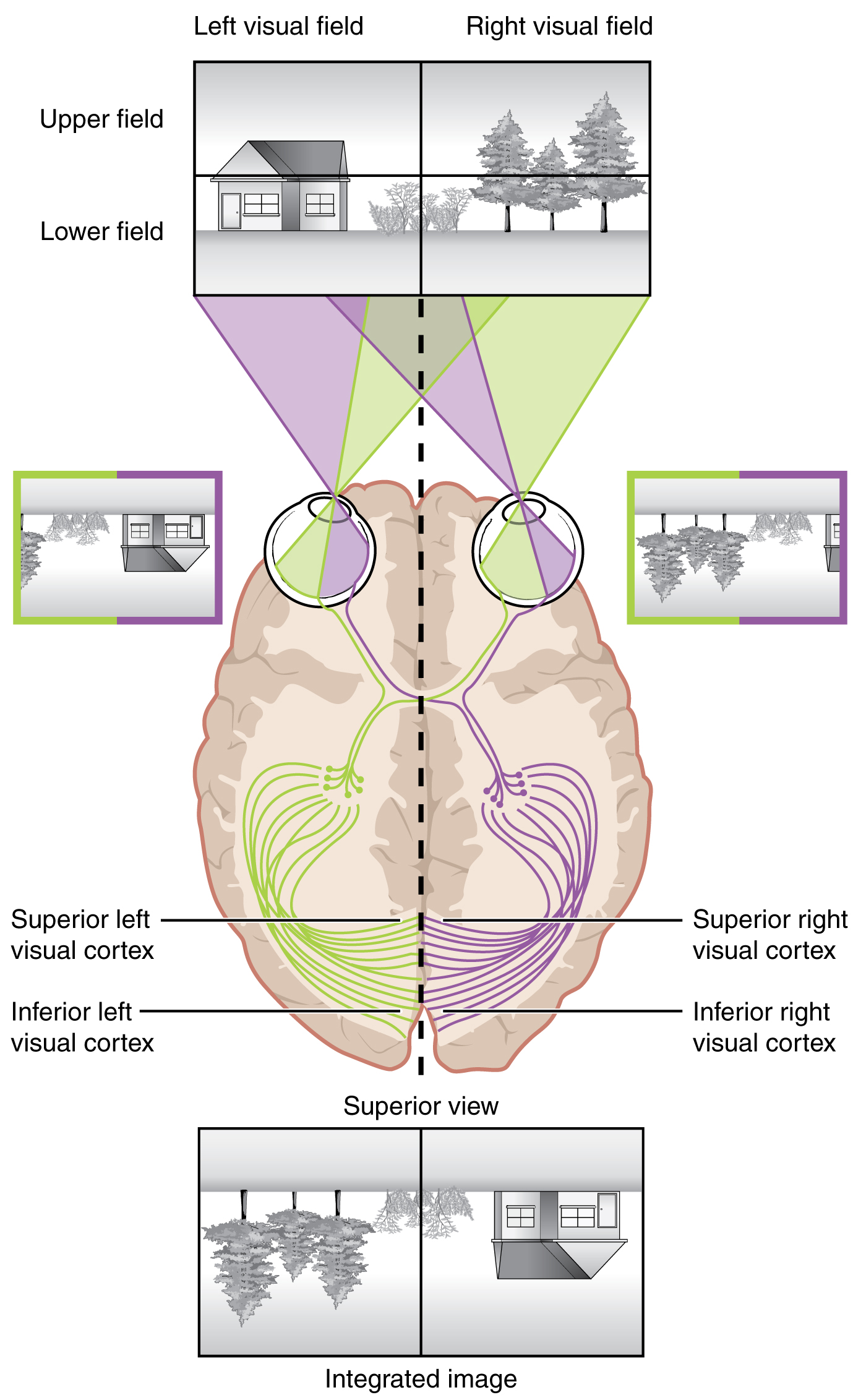 This image shows the mapping of the right and left visual fields on the brain. It also explains how the brain merges images from both visual fields.
