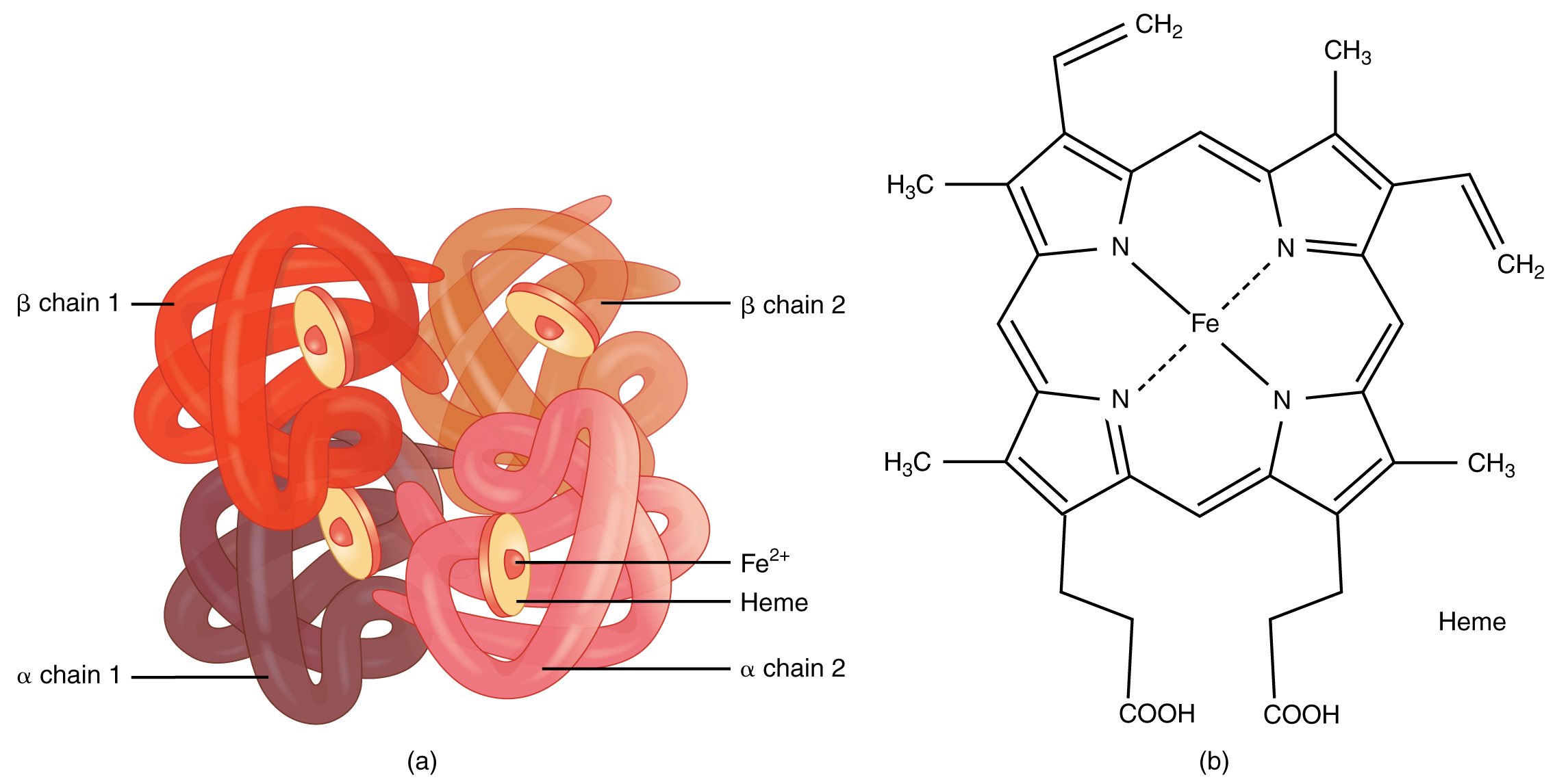 This figure shows the structure of hemoglobin. The left panel shows the protein structure and the right panel shows the chemical formula.