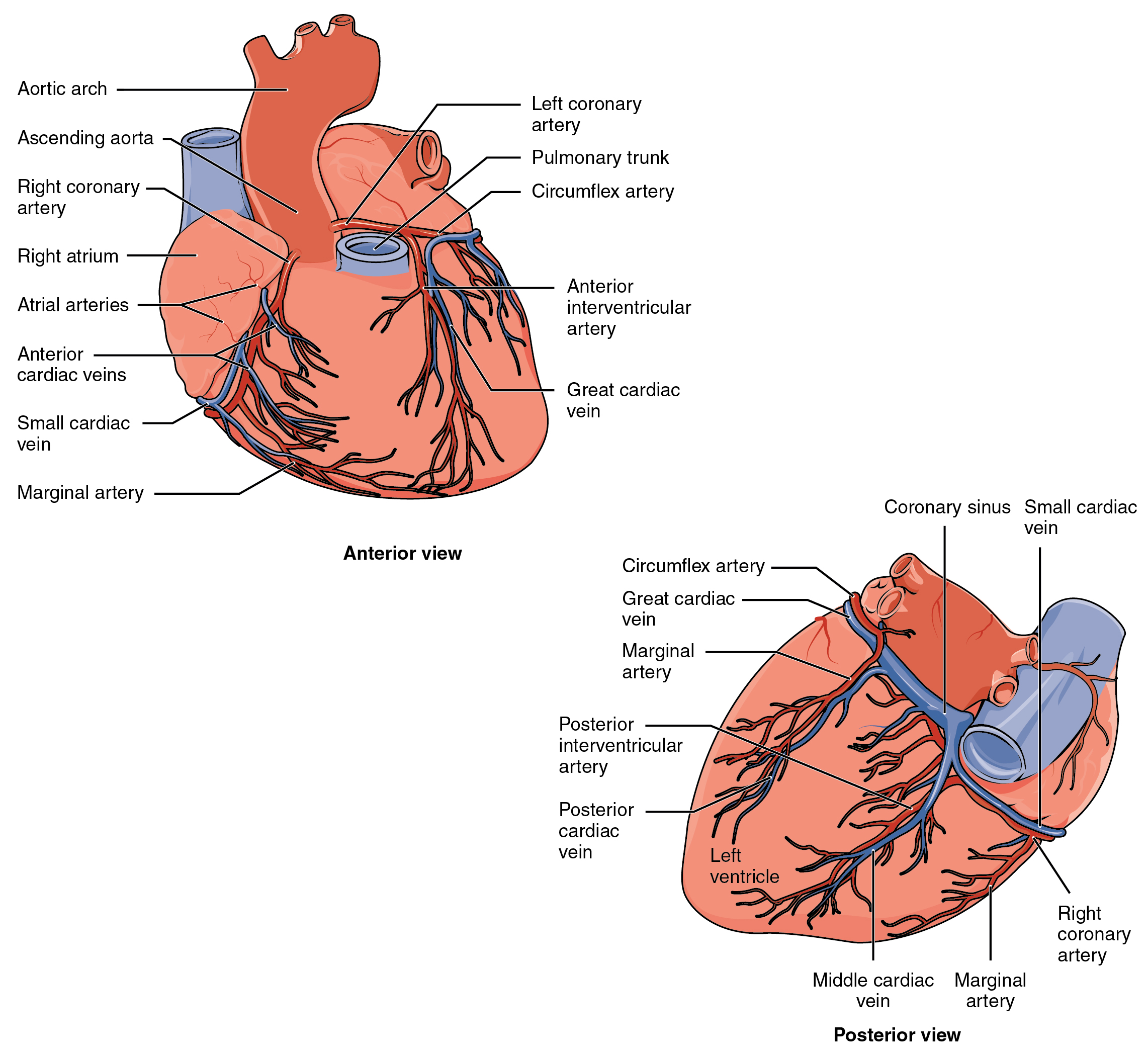 The top panel of this figure shows the anterior view of the heart while the bottom panel shows the posterior view of the heart. The different blood vessels are labeled.
