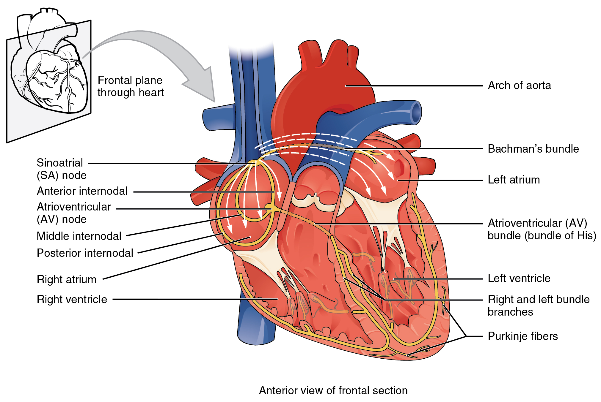 This image shows the anterior view of the frontal section of the heart with the major parts labeled.