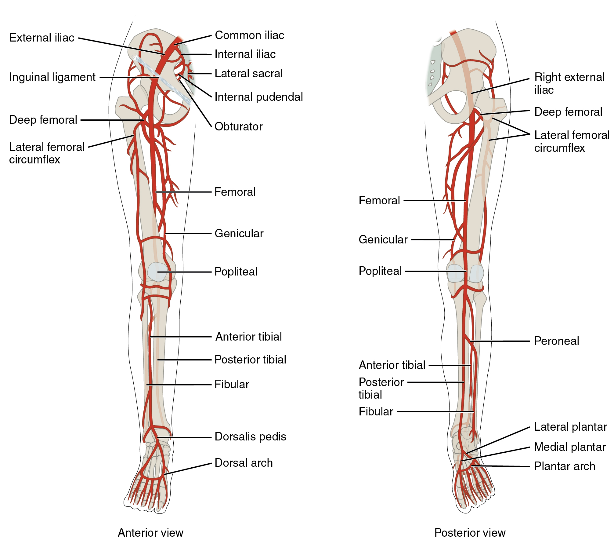 The left panel shows the anterior view of arteries in the legs, and the right panel shows the posterior view.