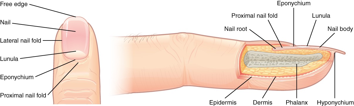 These two images show anatomy of the fingernail region. The top image shows a dorsal view of a finger. The proximal nail fold is the part underneath where the skin of the finger connects with the edge of the nail. The eponychium is a thin, pink layer between the white proximal edge of the nail (the lunula), and the edge of the finger skin. The lunula appears as a crescent-shaped white area at the proximal edge of the pink-shaded nail. The lateral nail folds are where the sides of the nail contact the finger skin. The distal edge of the nail is white and is called the free edge. An arrow indicates that the nail grows distally out from the proximal nail fold. The lower image shows a lateral view of the nail bed anatomy. In this view, one can see how the edge of the nail is located just proximal to the nail fold. This end of the nail, from which the nail grows, is called the nail root.