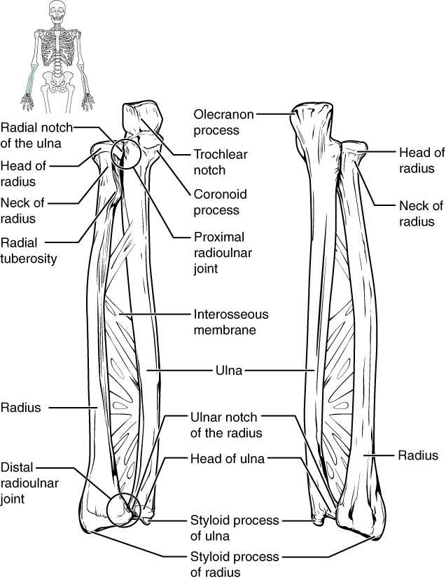 This figure shows the bones of the lower arm.