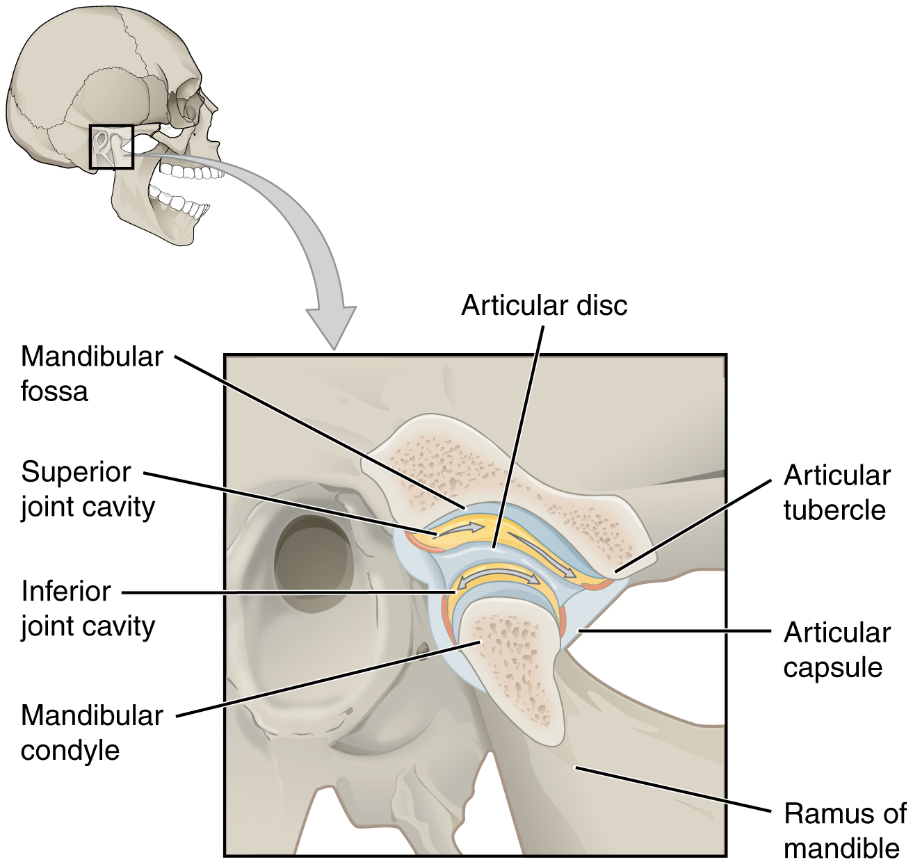 This figure shows the location and structure of the temporomandibular joint. On the top right, a lateral view of the skull is shown and the tempomandibular joint is highlighted in grey. A magnified view shows the structure of the joint with the main parts labeled.