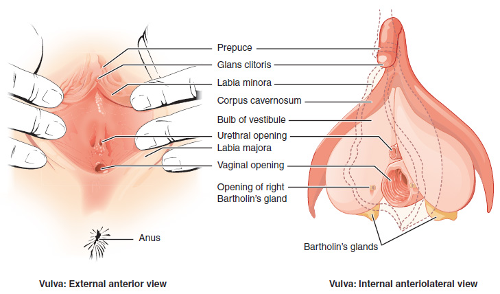This figure shows the parts of the vulva. The right panel shows the external anterior view and the left panel shows the internal anteriolateral view. The major parts are labeled.