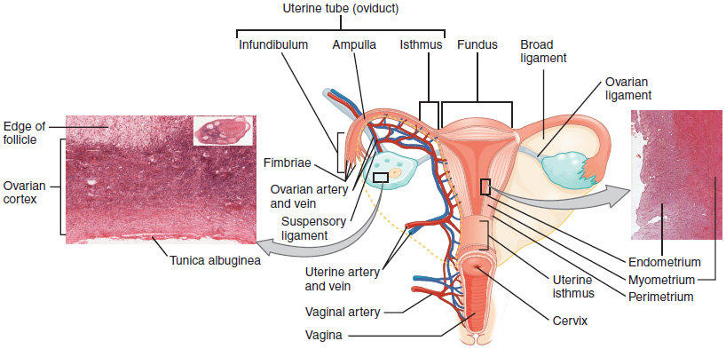 This diagram shows the uterus and ovaries in the center. To the left is a micrograph showing the ultrastructure of the ovaries and to the right is a micrograph showing the ultrastructure of the uterus.