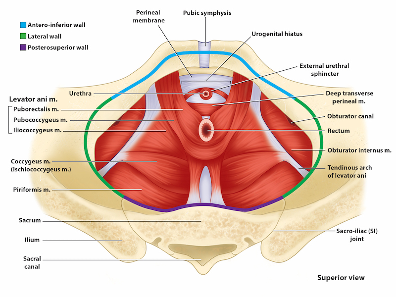 The image shows a superior view of the muscles of the pelvic floor. The pelvic diaphragm muscles are labeled in this image.