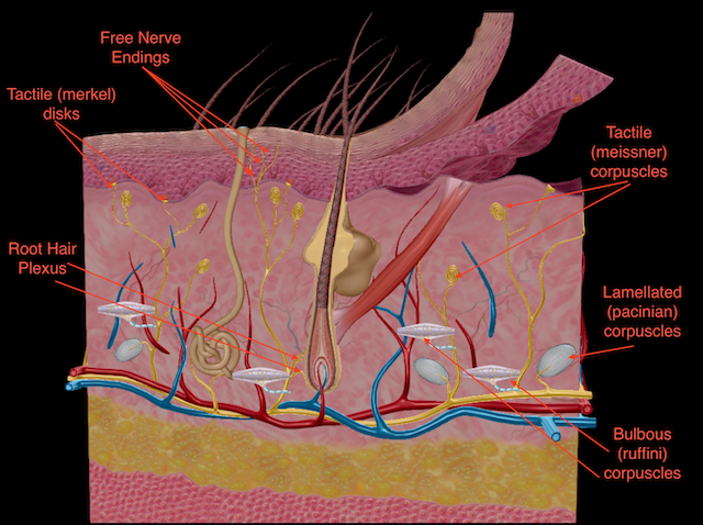 The image shows the sensory receptors of the integument. The receptors on the left side of the image are unencapsulated. The receptors on the right side of the image are encapsulated.