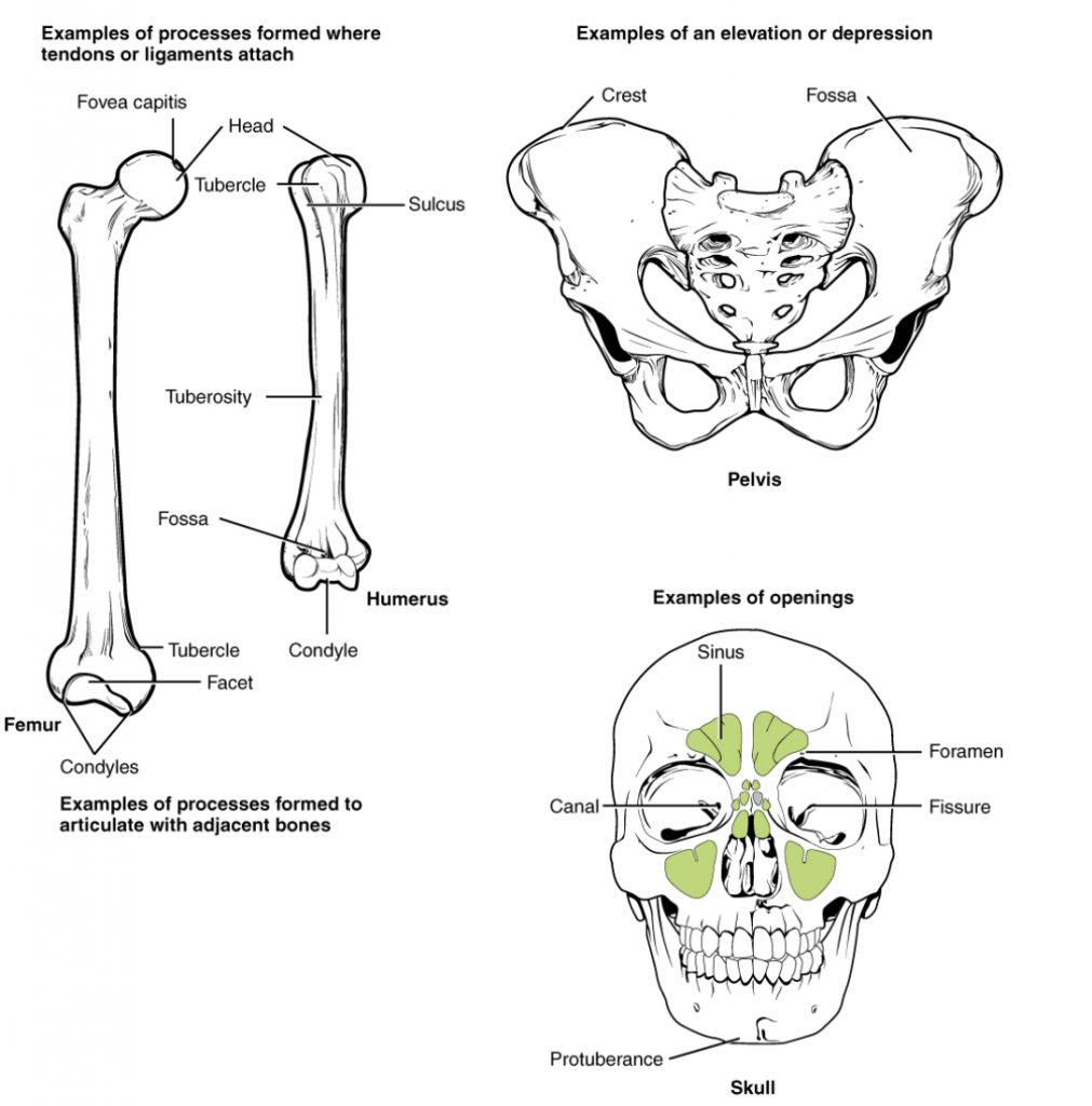 The image demonstrates different bony markings.