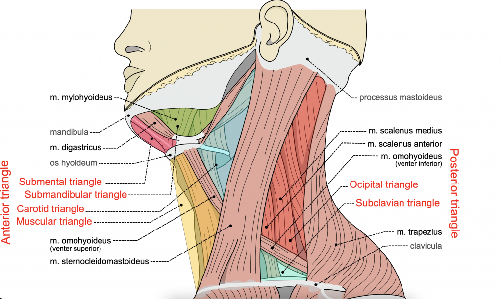 The image is a lateral view of the neck showing the triangles of the neck.