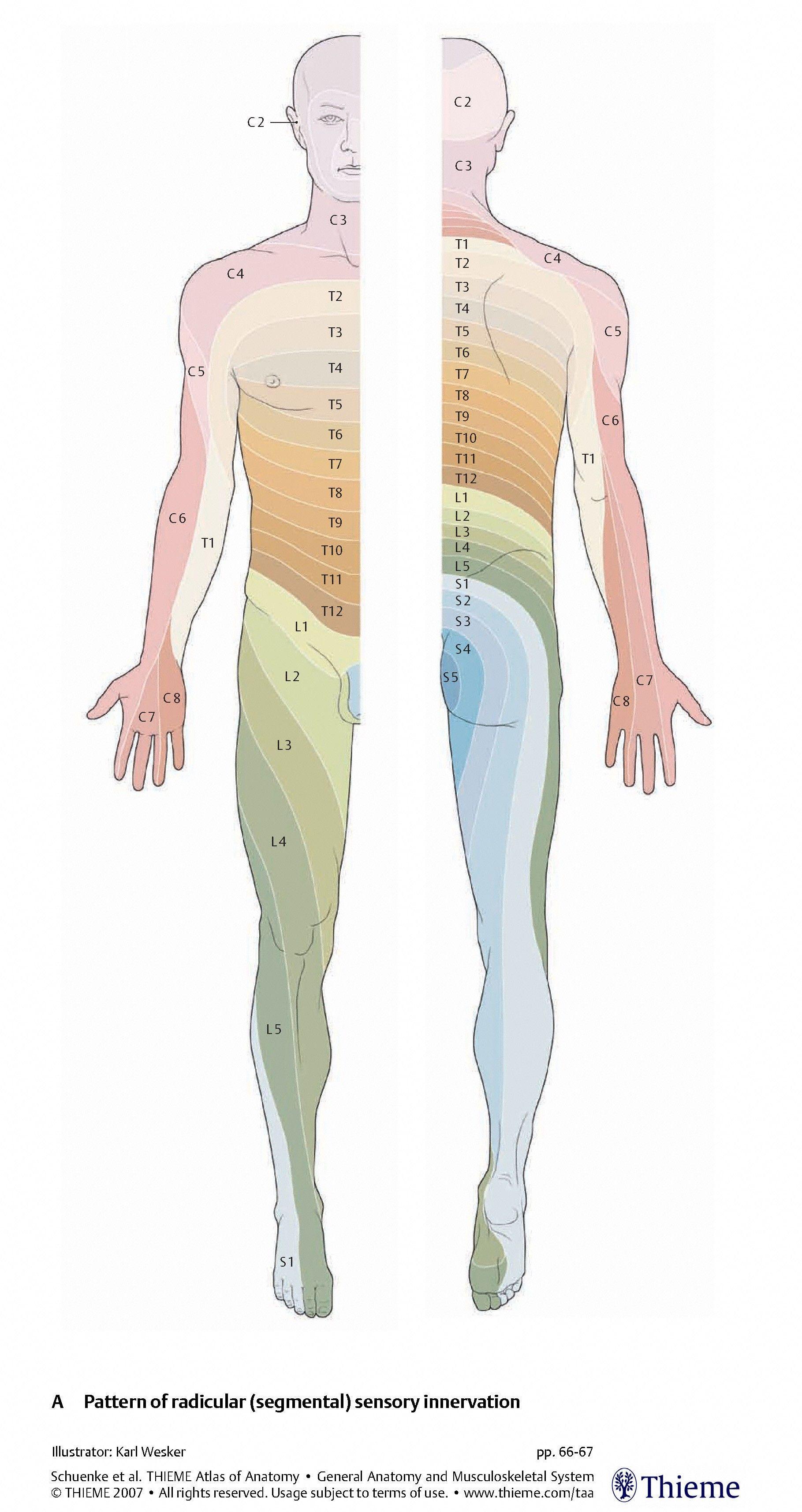 Dermatome Map (Thieme) – Anatomy 622 Coursebook