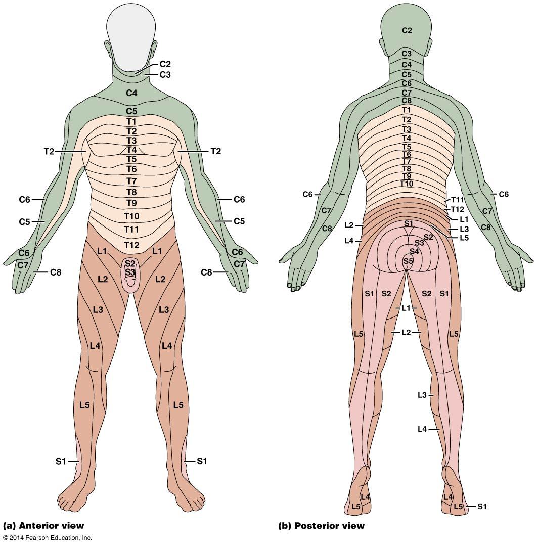 Dermatome Map Marieb Anatomy 622 Coursebook
