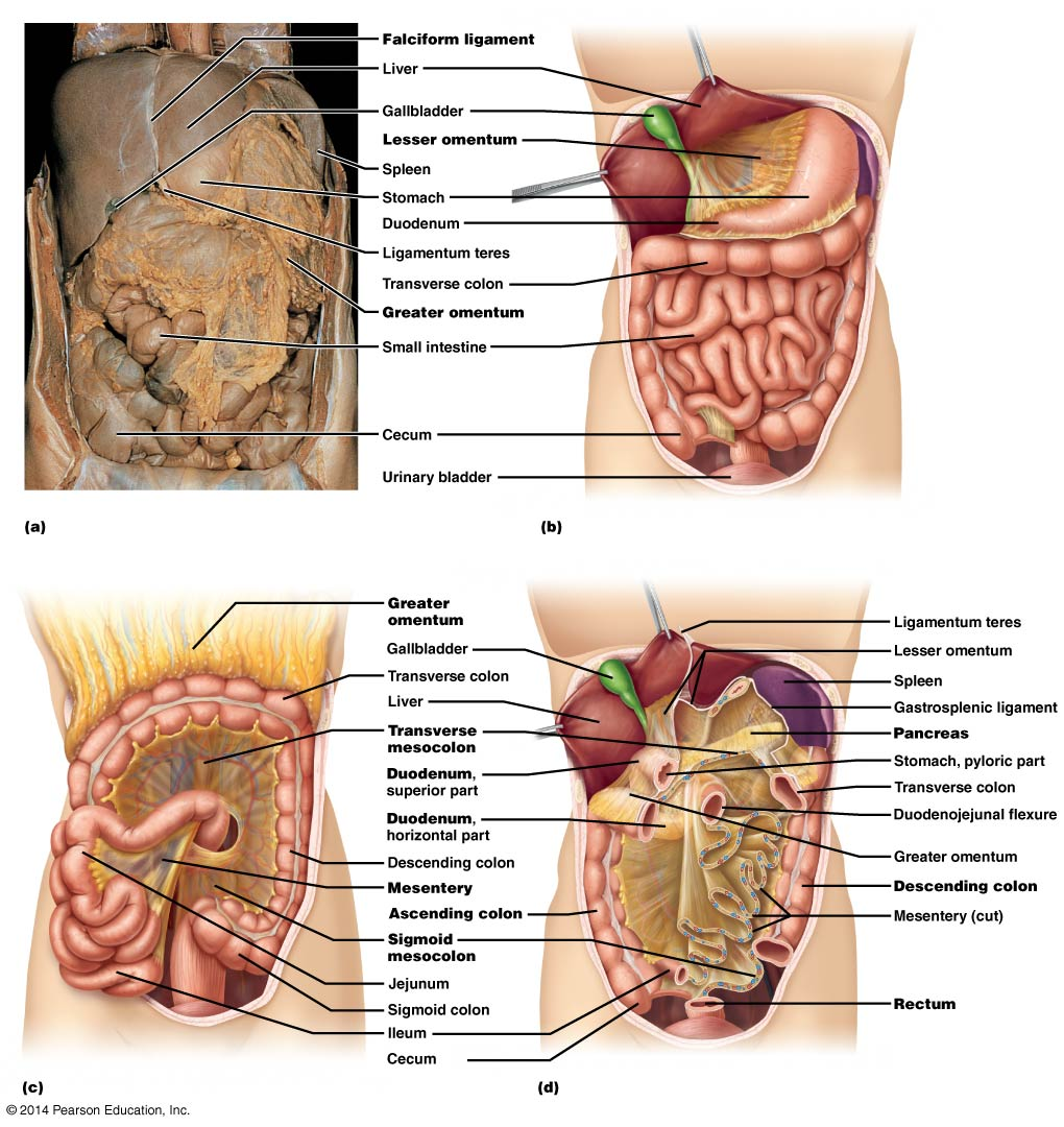 Abdominal Organs – Anatomy 622 CoursebookUniversity of Wisconsin Pressbooks
