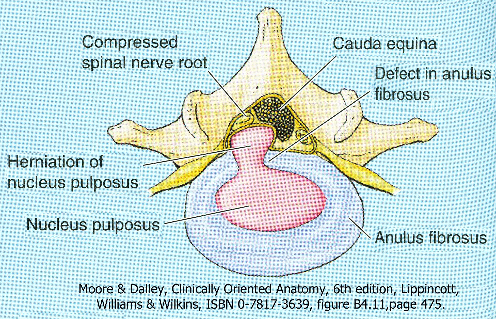 Vertebral Column Ribs And Sternum Human Anatomy For Physician