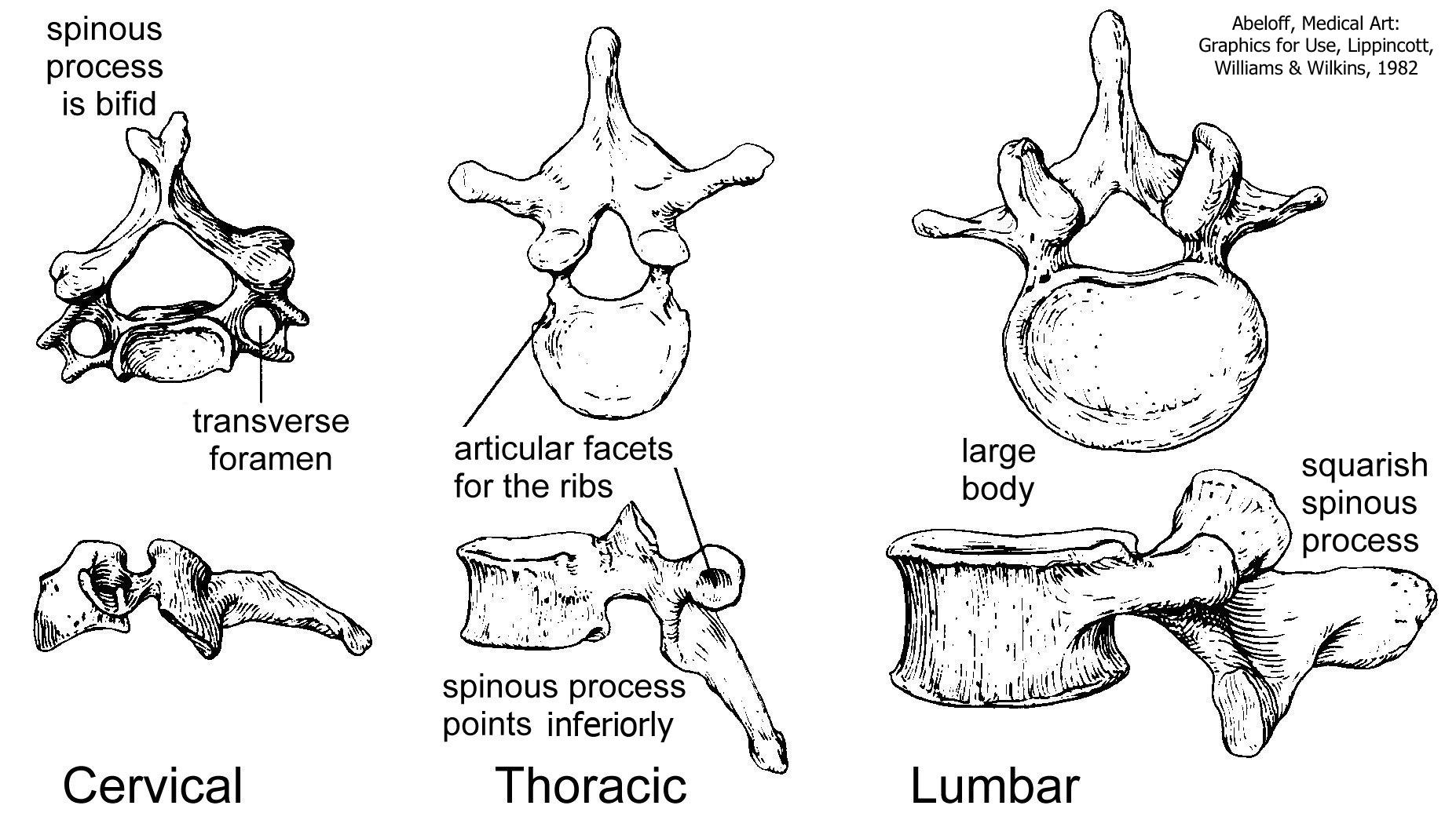 Vertebral, Column, Ribs, and Sternum – Human Anatomy for Physician ...